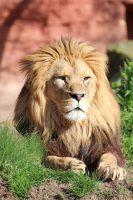 Foto mit einem liegenden Löwen.
